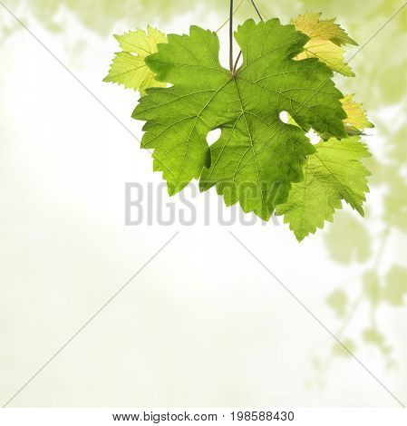 Grapevine background with detail of leaves and blurred light green vine branches border in square format