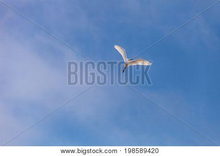 Great Egret Ardea Alba Flies Over A Marsh In Bolsa Chica Wetlands