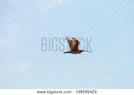 Long-billed curlew bird Numenius americanus flies over a marsh in Bolsa Chica Wetlands in Huntington Beach California USA