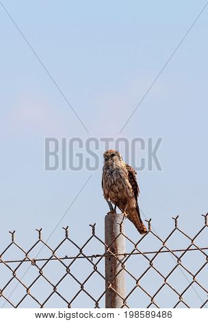 Merlin Falco Columbarius Bird Of Prey Perches On A Post In The Bolsa Chica Wetlands