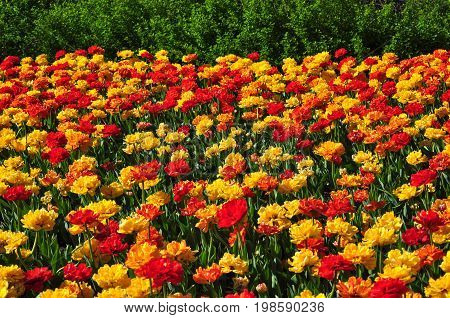 Red and yellow tulips during Canadian Tulip Festival in Ottawa Canada.