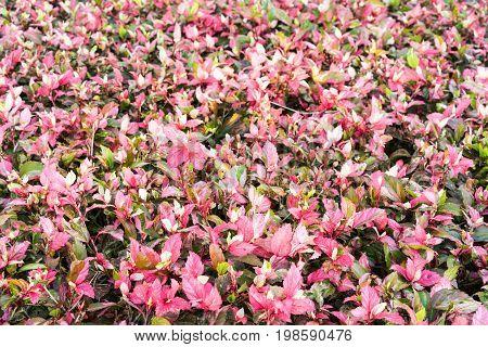 beautiful natural, pink yarrow leaves Ornamental plants