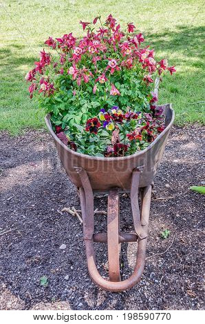 Rusty wheelbarrow full of pink and white columbine and assorted pansies