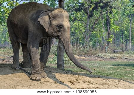 Sad elephant on chain in Chitwan National ParkNepal