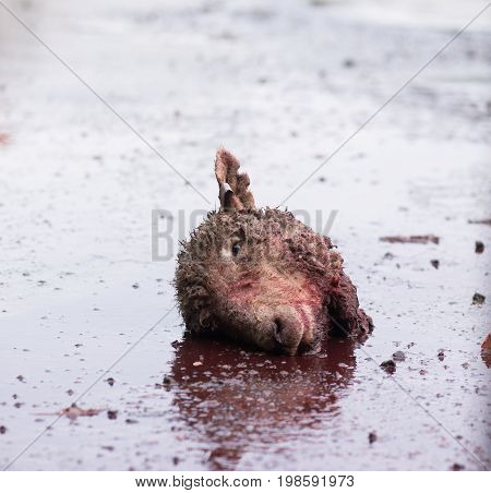 Bloodied head of a sheep on the ground outside a meat rendering plant where abattoir waste is processed to make meat and bone meal.
