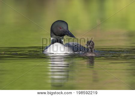 A week-old Common Loon chick (Gavia immer) practises its swimming skills under the watchful eye of its mother - Ontario Canada