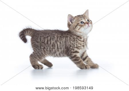 Young cat side view looking up isolated