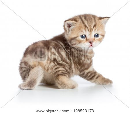 kitten or young baby cat turned to camera isolated