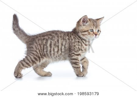 Young cat side view. Walking tabby kitten isolated.