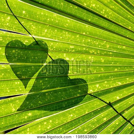 Natural heart shaped vine leaves on backlit Cabbage Tree Palm (Livistona australia) leaves. Nature lover background.