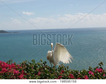Wing Extended - Spectacular Great Egret/Great White Heron on Bougainvillea on a cliff in Puerto Rico overlooking the ocean.