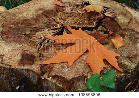 Yellow autumn maple leaf on old stump