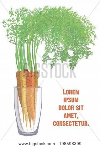 Sweet carrots. New crop. Colored illustration on a white background