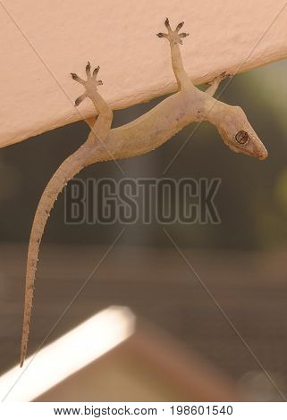 A gecko hanging upside down on a wall