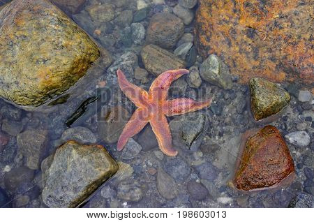 Starfish in the seawater among stones in low tide