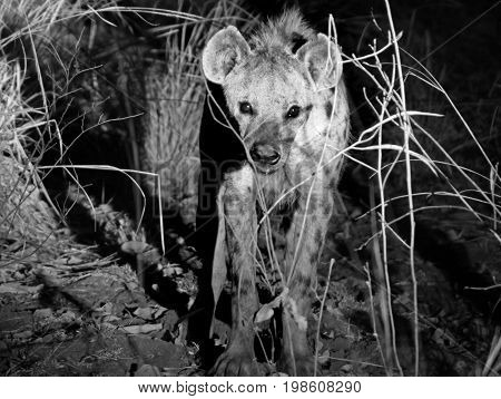 A vicious Looking Hyena walking towards the camera in South luangwa National Park Zambia Africa Blurred Motion is visible