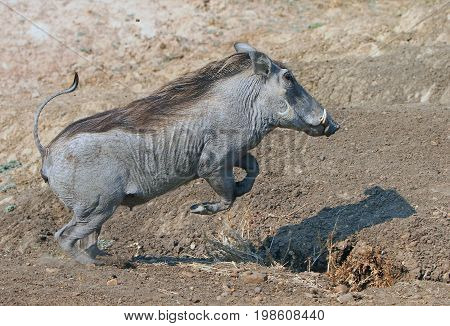 Warthog in mid air while jumping over a shallow ditch in South Luangwa, Zambia