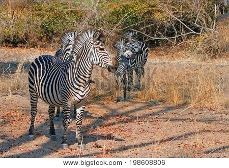 Herd of zebras all looking in one direction as if they have seen something in the distance in South Luangwa National Park, Zambia