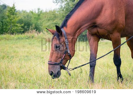Soft focus. Bay horse grazing in the meadow
