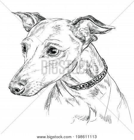 Vector outline portrait of Italian Greyhound in black color hand drawing illustration on white background
