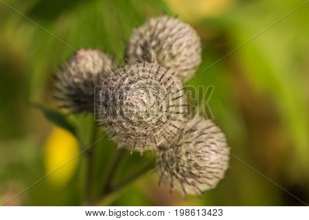 Beautiful thistle heads in the summer light. Thistle growing in the garden. Shallow depth of field closeup photo.