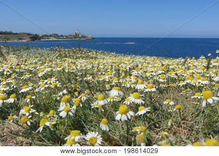 Field of chamomiles on the sea coast