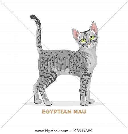 Egyptian mau cat. Isolated domestic animal on white background.