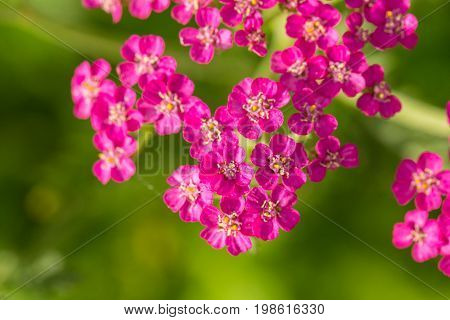 A beautifu pink garden yarrow on a natural background. Vibrant summer scenery. Shallow depth of field macro photo.
