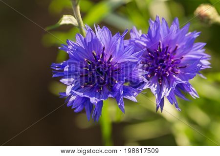 Beautiful blue cornflowers in the garden. Summer flowers blooming in the sun. Shallow depth of field closeup photo.