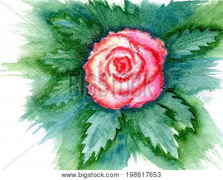 One pink rose with leaves, isolated on white background, abstract hand-painted watercolor illustration and paper texture