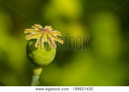 Close up green seed capsule of poppy flower Papaver rhoeas, field poppy outdoor.