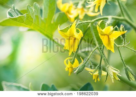 Large yellow flowers of a tomato on a Sunny day in the garden. Nature farm background