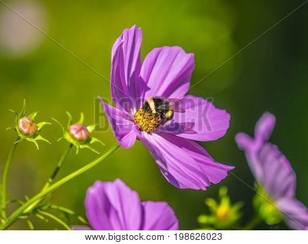 Bumblebee harvesting pollen from blooming flowers