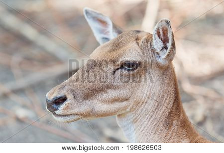 Closeup Photo Of A Deer Head
