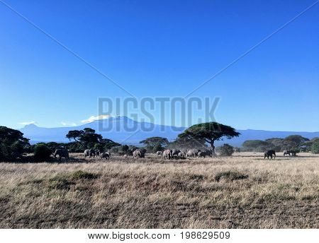 Acacia trees and a herd of elephants at Amboseli National Park in Kenya, with Mount Kilimanjaro in the distance