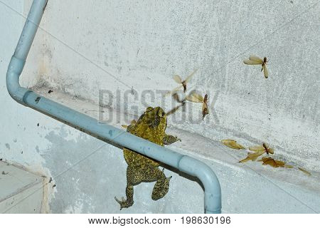 toad climbing to feeding mayfly on house wall after rain in night
