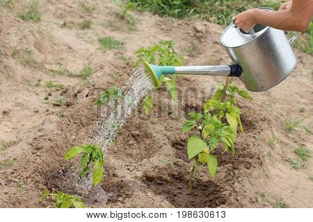 Gardener pours sprouts of green pepper in the garden / vegetable growing from the watering can