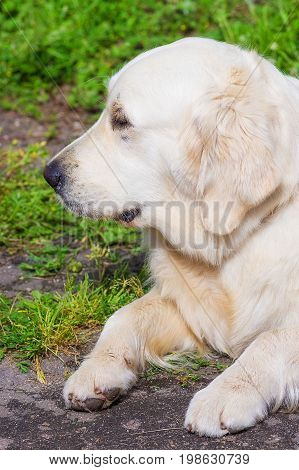 Golden retriever - a hunting breed of dogs. Concept: parodist dogs, dog friend of man, true friends, rescuers. Space under the text. 2018 year of the dog in the eastern calendar