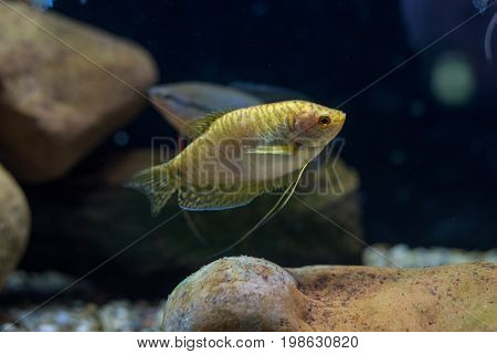 The blue gourami is also called the three spot gourami. It is so named for the two black spots that range down the fish's side. The third spot spoken of in its name is actually the fish's dark eye. The overall color of the scales is a silvery blue