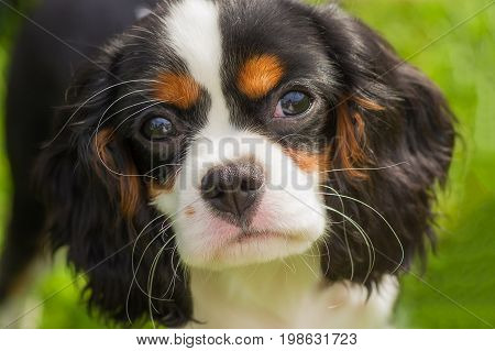 Cavalier King Charles Spaniel, green background. Space under the text. 2018 year of the dog in the eastern calendar Concept: parodist dogs, dog friend of man, true friends, rescuers.
