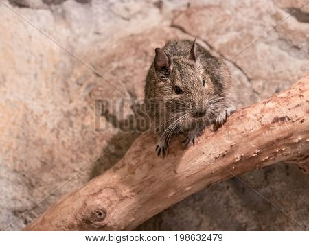 Degu also known as a bushy tail rat. It is a native of Chile. Untamed degus as with most small animals can be prone to biting but their intelligence makes them easy to tame. poster