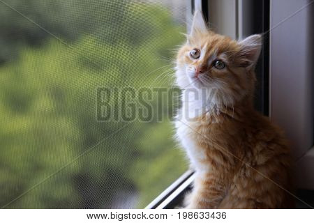Portrait of a young red-haired cat on window