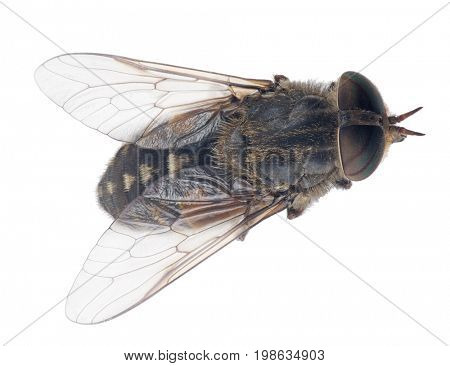 macro photo of pale giant horse-fly isolated on white background