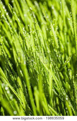 Abstract Macro Close-up Of Mature Wheatgras
