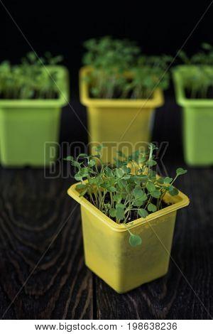 Rukkola growing in a yellow pot