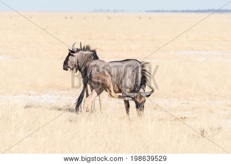 Two blue wildebeest Connochaetes taurinus also called a white-bearded wildebeest or brindled gnu one scratching his head