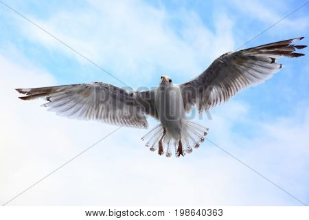 Flying sea-gull in the sky close-up