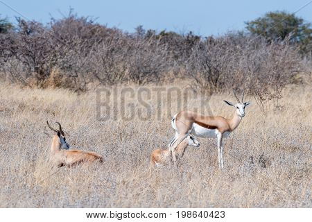 Two springboks Antidorcas marsupialis lying in grass and one standing in Northern Namibia
