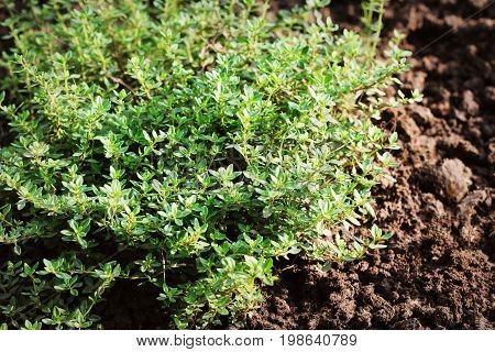 Closeup lemon thyme leaves from the herb garden. Thymus citriodorus or lemon thyme or Citrus thyme .
