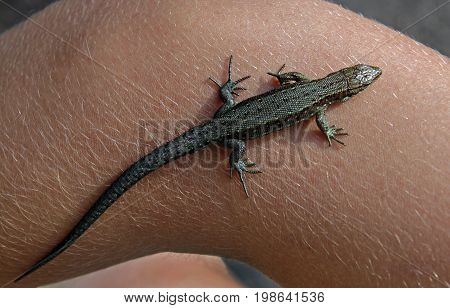 Female lizard (Lacerta agilis argus) on hand. View from above